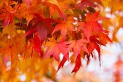 Rood en Oranje Autumn Fall Leaves in Lithgow Nieuw Zuid-Wales  stock afbeelding