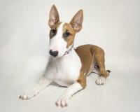 Rood en wit bull terrier-puppy Royalty-vrije Stock Foto's