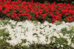 Rood en wit Canada Dag 150 bloemenvertoning Stock Foto's
