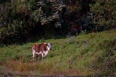 Rood en Wit Holstein wacht worden gemolken stock fotografie