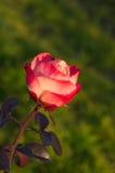 Rood en wit nam bloem op natuurlijke achtergrond toe Royalty-vrije Stock Foto