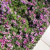 Rood-en-witte bloemen Royalty-vrije Stock Afbeeldingen