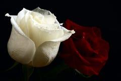 Rood en witte rozen Stock Foto