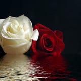 Rood en witte rozen stock fotografie