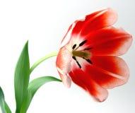 Rood en Witte tulpen stock foto