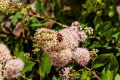 Rood en zwart gestreept insect op een roze bloemclose-up Stock Afbeelding
