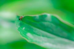 Rood en zwart insect die op een groene bladinstallatie lopen stock foto's