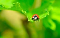 Rood en zwart onzelieveheersbeestje Stock Afbeeldingen
