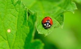 Rood en zwart onzelieveheersbeestje Royalty-vrije Stock Afbeelding