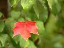 Rood esdoornblad stock foto
