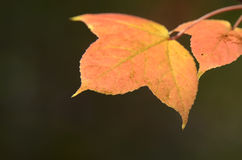 Rood esdoornblad stock afbeelding