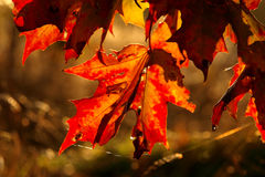 Rood esdoornblad Royalty-vrije Stock Afbeeldingen