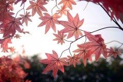 Rood esdoornblad in Autum-seizoen Stock Afbeeldingen