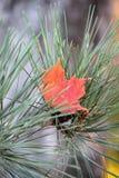 Rood Esdoornblad binnen onder Pijnboomnaalden Royalty-vrije Stock Afbeelding