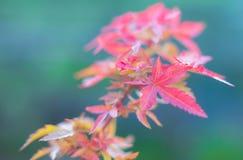 Rood esdoornblad in de herfst stock fotografie