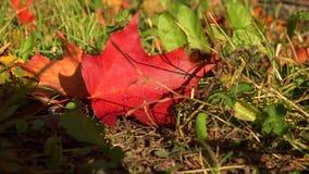 Rood esdoornblad op het gras 4K stock footage