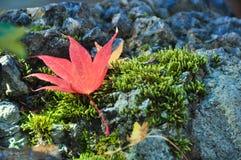 Rood esdoornblad op rots Stock Foto's