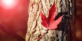 Rood esdoornblad Van de de Dagesdoorn van Canada de bladerenachtergrond Dalend rood blad voor Canada Dag 1 Juli De gelukkige blad stock afbeeldingen