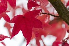 Rood esdoorngebladerte op de boomtak Stock Foto's