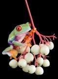 Rood-eyed boomkikker op bessen Royalty-vrije Stock Afbeeldingen