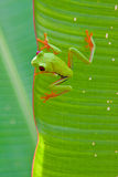 Rood-eyed boomkikker op blad Stock Afbeelding