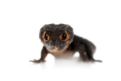Rood-eyed krokodil skinks, tribolonotus gracilis, op wit Stock Foto's