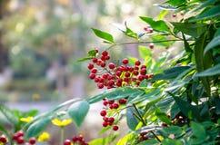Rood fruit in autumm Royalty-vrije Stock Fotografie