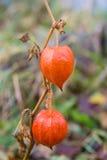 Rood fruit van physalis. royalty-vrije stock foto's