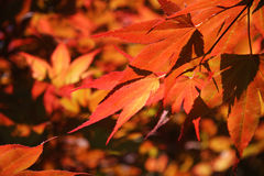 Rood gebladerte van Acer Palmatum Stock Foto's