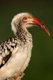 Rood-gefactureerd hornbill royalty-vrije stock fotografie