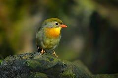 Rood-gefactureerd leiothrix, Leiothrix-lutea, zeldzame vogel van zuidelijk China en het Himalayagebergte Leuk dier in groene vege stock foto