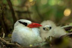 Rood-gefactureerde aethereus van Tropicbird Phaethon op nest met zijn kuiken, mooie witte vogel met tropisch bos op achtergrond stock fotografie