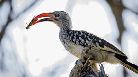 Rood-gefactureerde Hornbill met Insect Royalty-vrije Stock Foto's