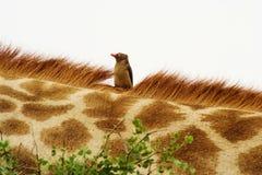 Rood-gefactureerde Oxpecker (Buphagus-erythrorhynchus) op giraf. Royalty-vrije Stock Afbeelding