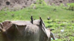 Rood-gefactureerde oxpeckers op vee stock video