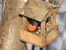 Rood-gekleurd Mannetje van Europees-Aziatische pyrrhula van Goudvinkpyrrhula, close-upportret bij vogelvoeder, selectieve nadruk, Stock Foto's