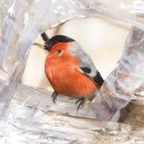 Rood-gekleurd Mannetje van het Europees-Aziatische portret van het pyrrhulaclose-up van Goudvinkpyrrhula bij vogelvoeder, selecti Stock Foto