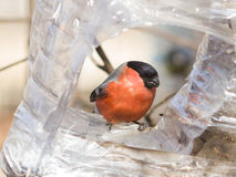 Rood-gekleurd Mannetje van het Europees-Aziatische portret van het pyrrhulaclose-up van Goudvinkpyrrhula bij vogelvoeder, selecti Royalty-vrije Stock Foto