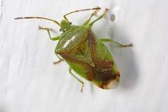 Rood-gekruist stink insect Royalty-vrije Stock Afbeeldingen