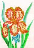 Rood-gele iris, het schilderen Royalty-vrije Stock Foto's