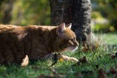 Rood-gele kat in gras royalty-vrije stock foto's