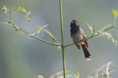 Rood-geluchte bulbul vogel in Nepal Stock Afbeeldingen