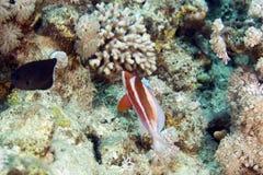 Rood-gestreept hogfish (bodianusopercularis) Stock Afbeeldingen