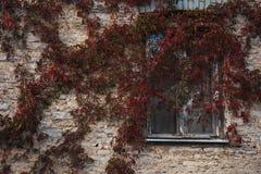 Rood geworden die wijnstokken langs de muur worden uitgespreid stock afbeeldingen