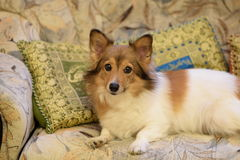 Rood gezichts mooie hond Stock Foto