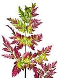 Rood-groen varenblad Stock Fotografie