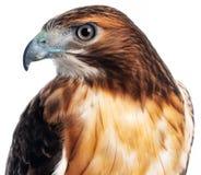 Rood Hawk Closeup stock afbeelding
