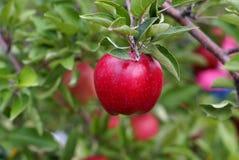 Rood - heerlijke appel Stock Afbeeldingen