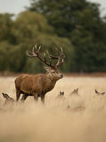 Rood herten (Cervus-elaphus) mannetje stock foto