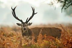 Rood hertenmannetje met een verwond oor royalty-vrije stock afbeelding